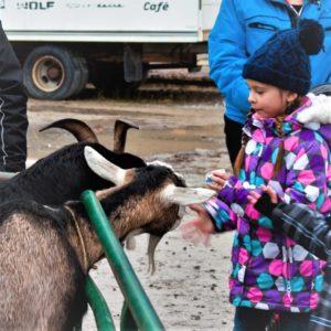 young girl feeding goat