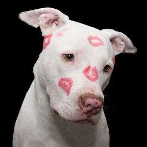 pit bull with kiss marks