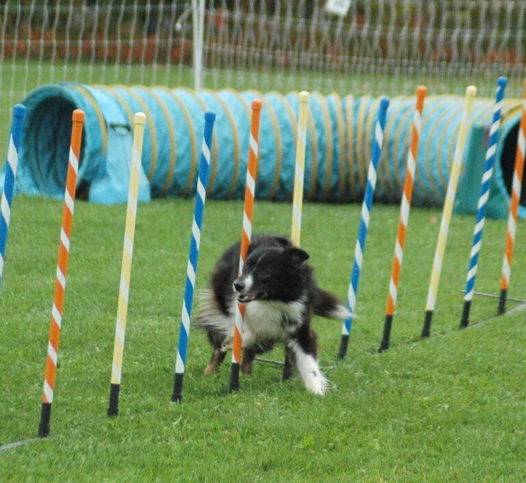 aussie dog weaving thru poles