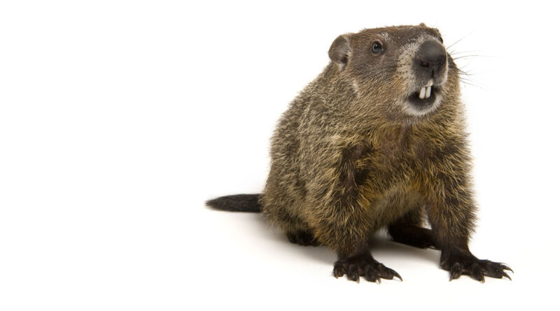 What's with the February Groundhog?
