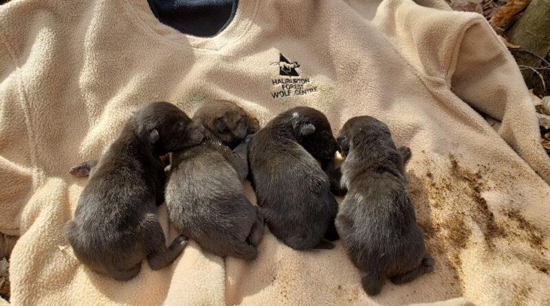 4 wolf cubs