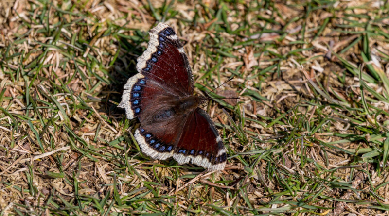 Mourning Cloak on the grass